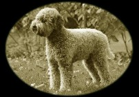 Lagotto Zucht Golden Comfort